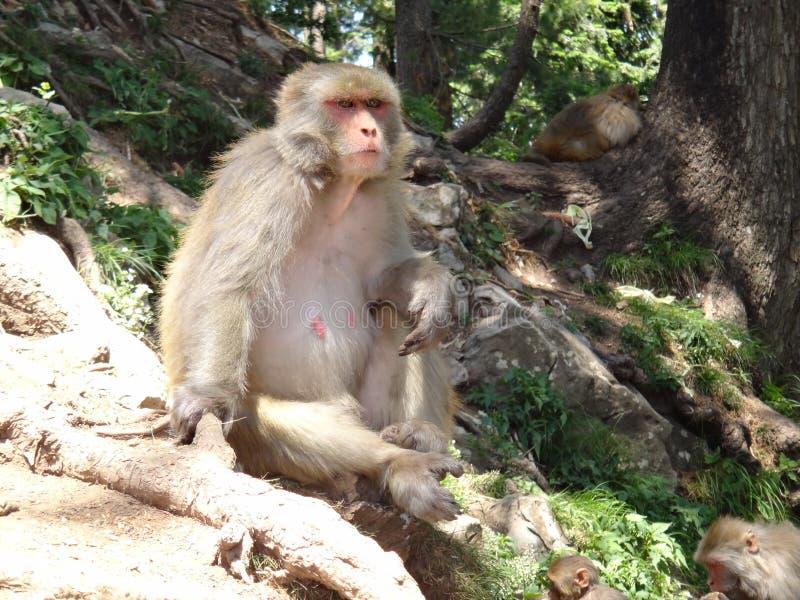 寻找某事的猴子 免版税库存图片