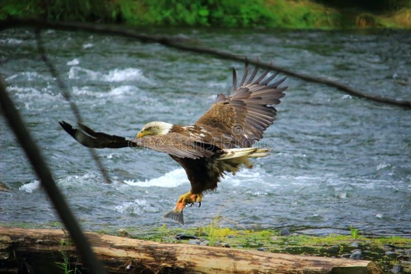 寻找红鲑鱼的白头鹰在阿拉斯加 免版税库存照片