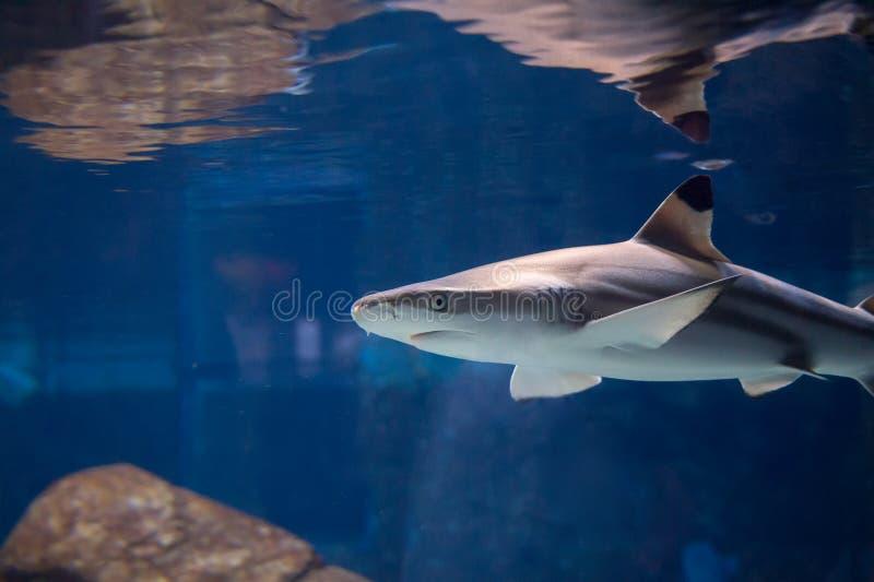 寻找膳食的鲨鱼 库存照片