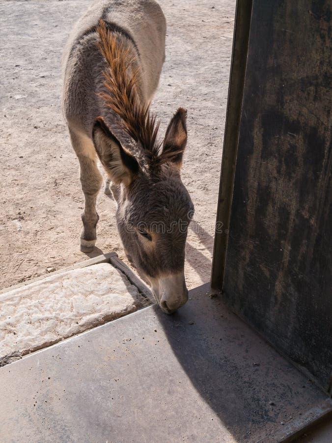寻找赠送品的野生驮货驴子 图库摄影