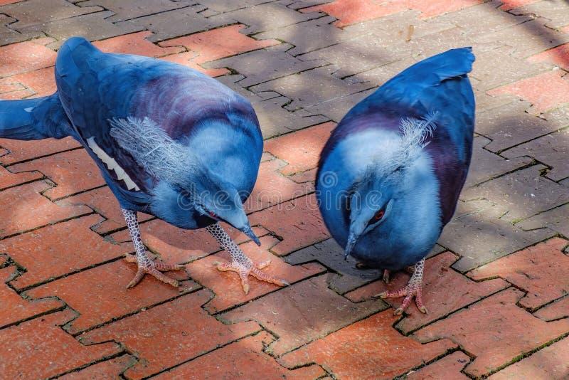 寻找食物的两只蓝色被加冠的鸽子 免版税库存照片
