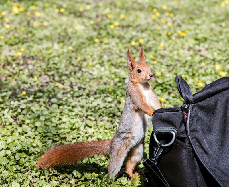 寻找食物的小的灰鼠在公园站立近的袋子 免版税库存图片