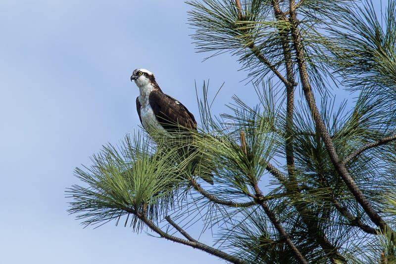 寻找食物的被栖息的白鹭的羽毛 免版税库存照片