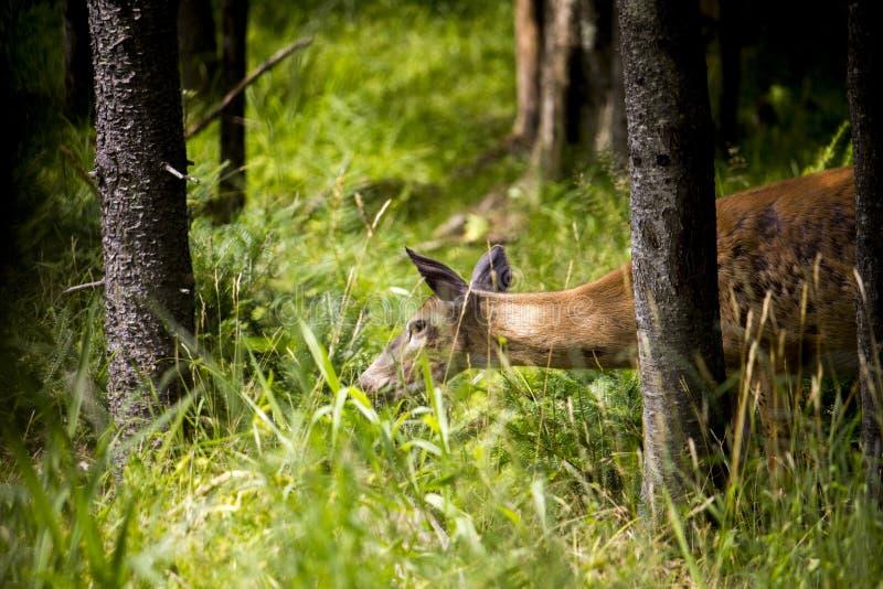 寻找食物的鹿在森林里 免版税图库摄影