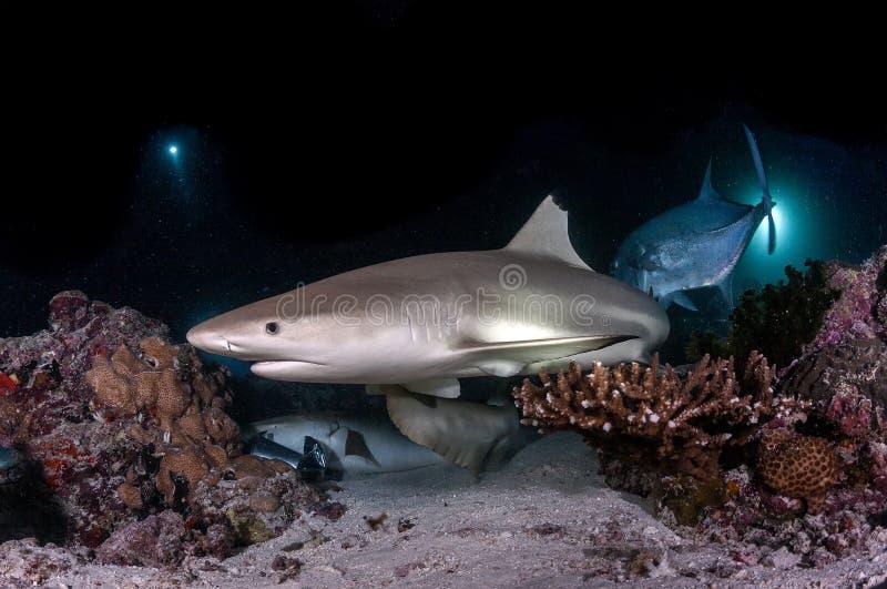 黑技巧鲨鱼在马尔代夫 图库摄影