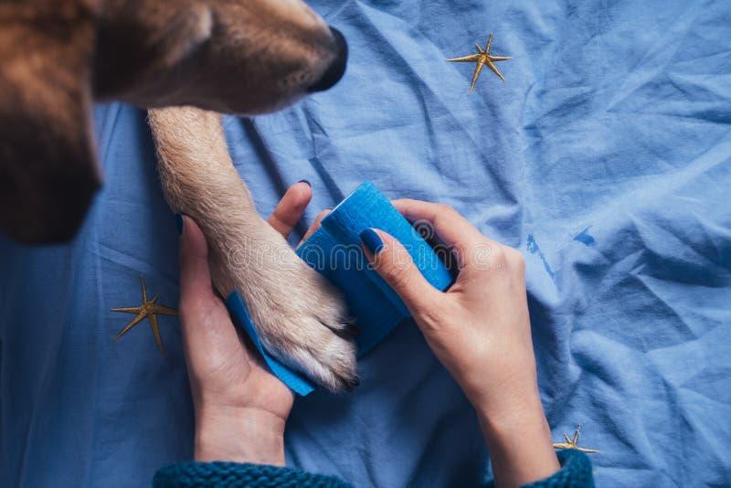 把绷带放的女孩在受伤的狗爪子上 免版税图库摄影