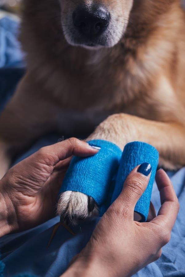把绷带放的女孩在受伤的狗爪子上 免版税库存照片