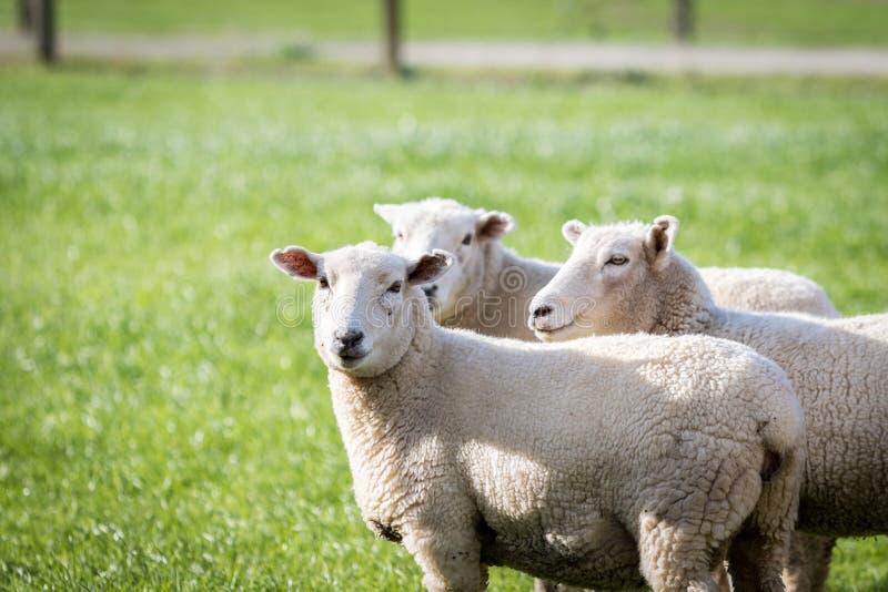 把绵羊放进牧场 免版税库存照片
