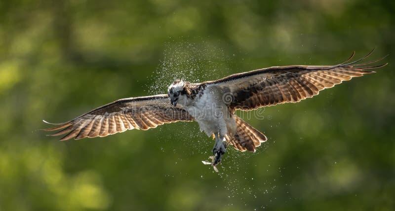 抓与爪的白鹭的羽毛一条鱼 免版税库存照片