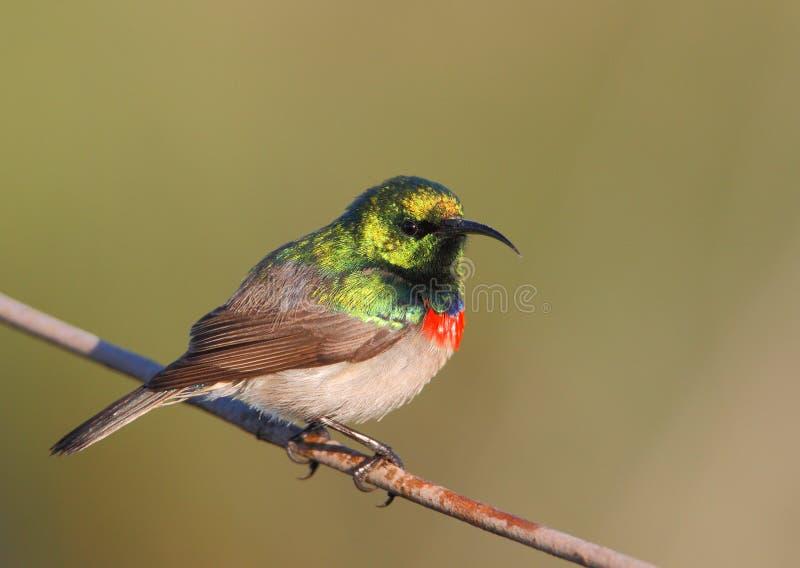 抓住衣领口的双南部的sunbird 图库摄影