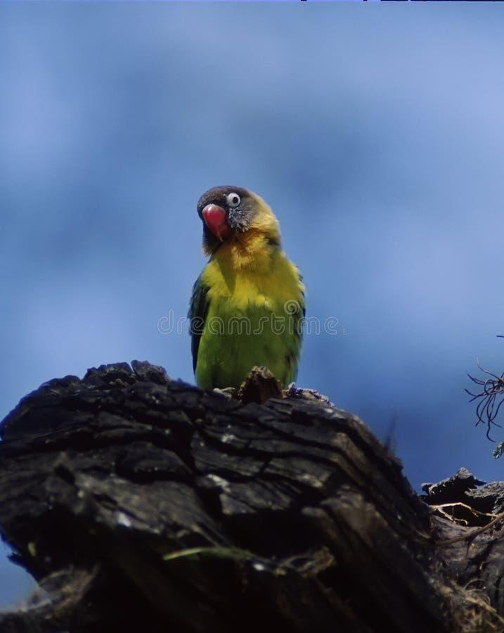 抓住衣领口的爱情鸟黄色 图库摄影