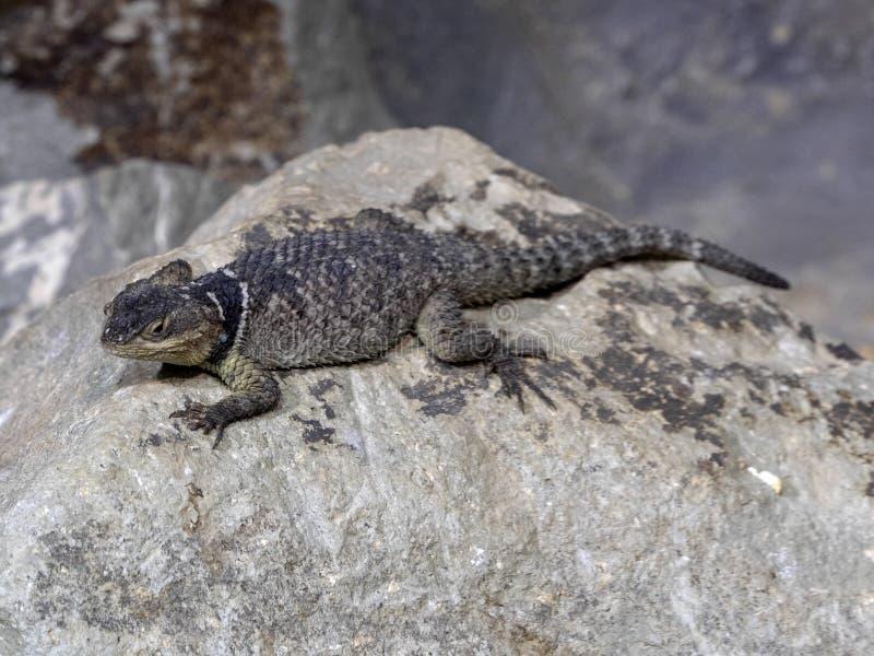 抓住衣领口的蜥蜴,Crotaphytus collaris,有一个黑衣领 免版税库存图片