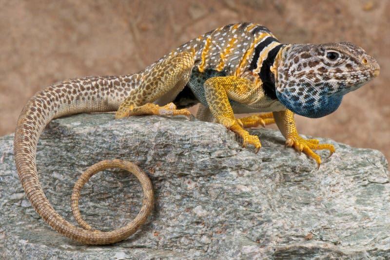 抓住衣领口的蜥蜴 免版税图库摄影