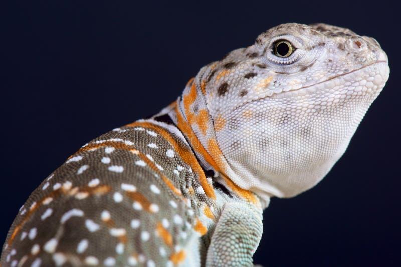抓住衣领口的蜥蜴/Crotaphytus collaris 免版税库存照片