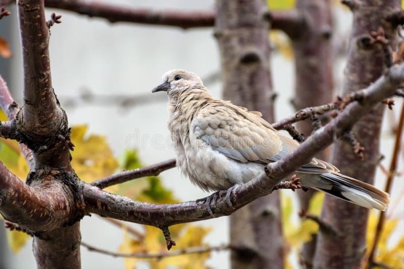 抓住衣领口的鸠斑鸠decaocto坐树枝 库存照片
