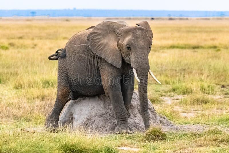 抓她的腹部的年轻大象 库存照片