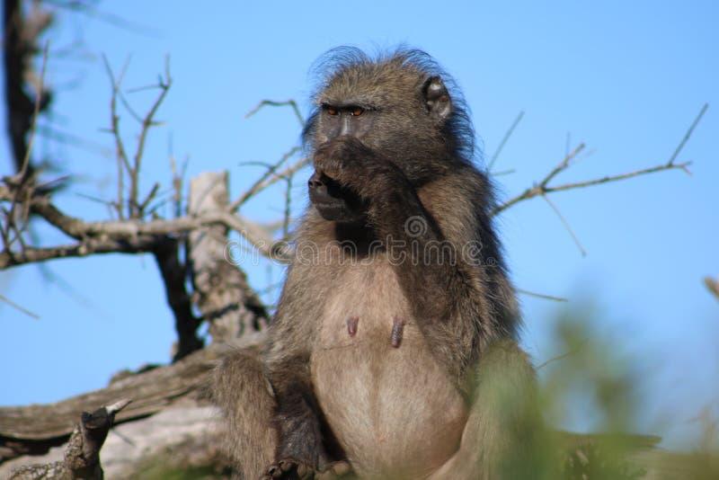 抓它的噪声的狒狒 库存图片