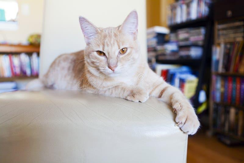 抓家具的虎斑猫 免版税库存照片