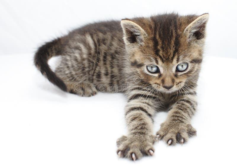 抓的小猫 免版税库存图片