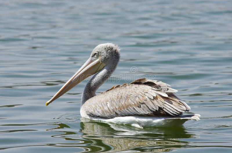 抓鱼的鹈鹕在湖Hora,埃塞俄比亚附近 免版税库存图片