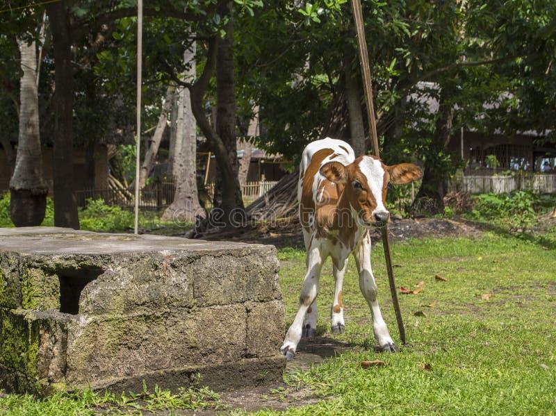 抓头的小的小牛或小母牛在一根木棍子 村庄生活自然场面  免版税库存照片