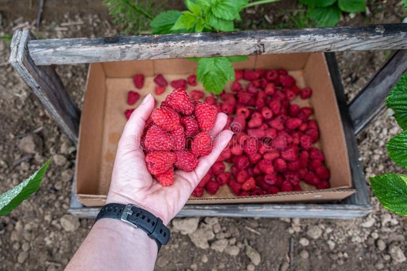 投下一束被收获的红草莓的妇女的手入纸板箱,太平洋西北地区的农村农场,美国 免版税库存图片
