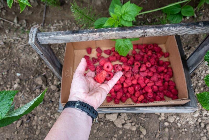 投下一束被收获的红草莓的妇女的手入纸板箱,太平洋西北地区的农村农场,美国 免版税库存照片