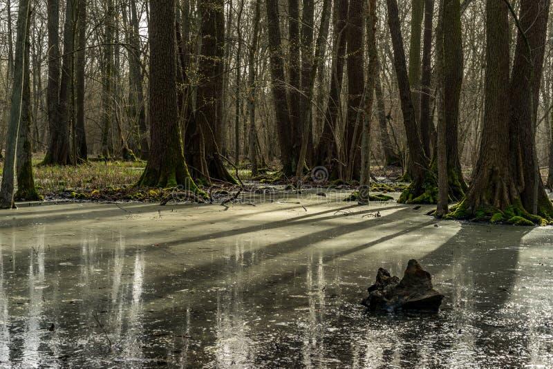 投下在沼泽的树阴影在日落期间 免版税库存照片