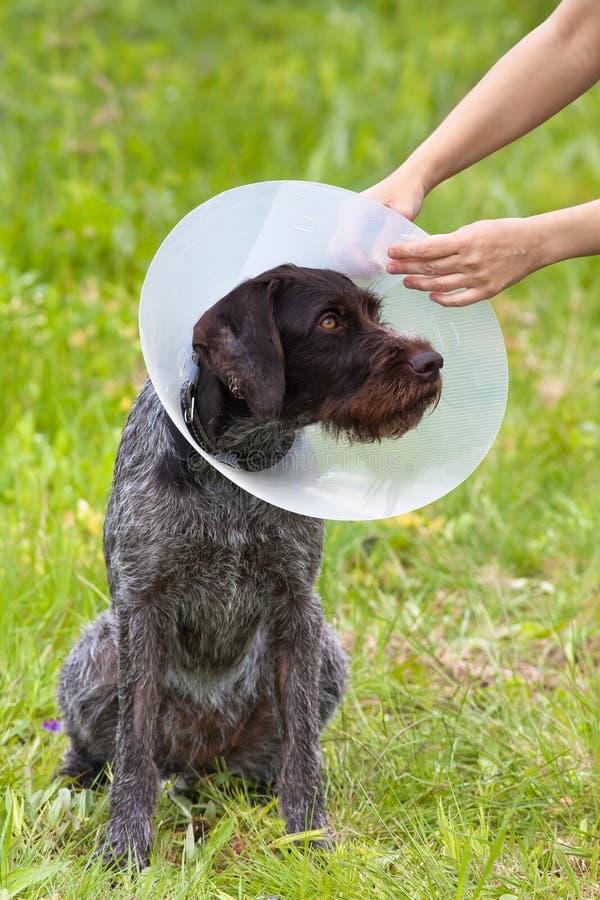投入在狗伊丽莎白女王的衣领的手 图库摄影