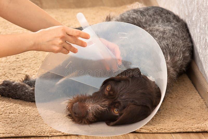 投入在狗塑料伊丽莎白女王的衣领的手 免版税库存照片