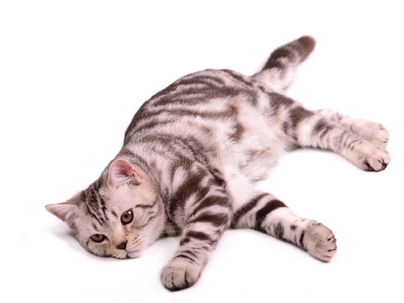 折叠查出的小猫懒惰位于的skottish 库存图片