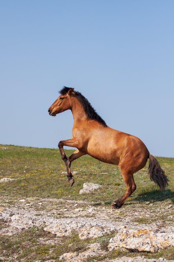 抚养在好日子的美丽的红色马在夏天 免版税库存照片