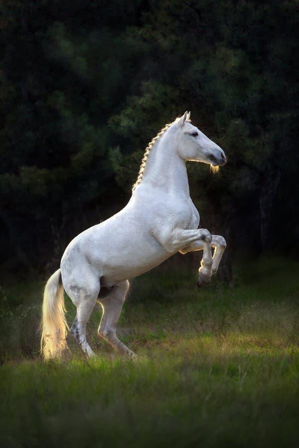 抚养奥尔洛夫的小跑步马  库存照片