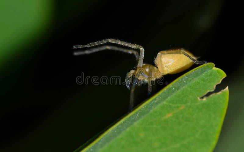 抚养由攻击决定的黄色囊蜘蛛 库存图片