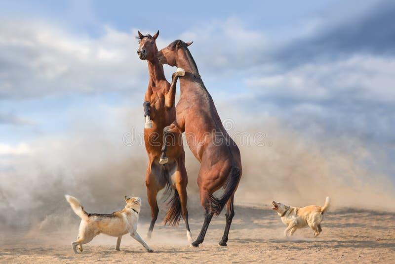 抚养马的夫妇  库存照片