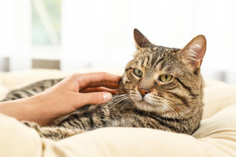 抚摸在枕头的所有者逗人喜爱的猫户内 友好的宠物 库存照片