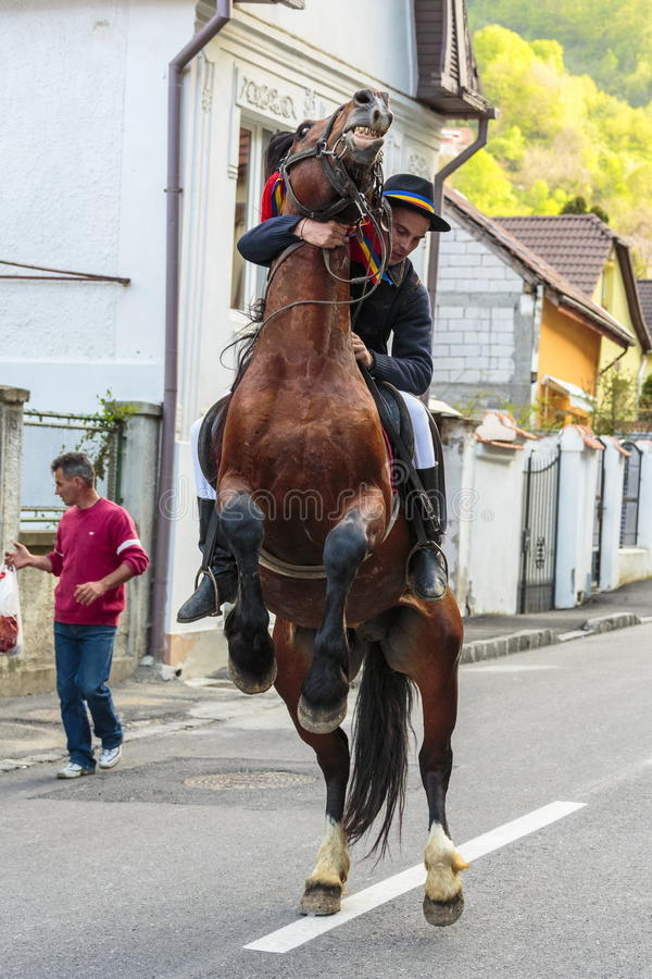 抚养与车手的马在布拉索夫,罗马尼亚 免版税库存照片