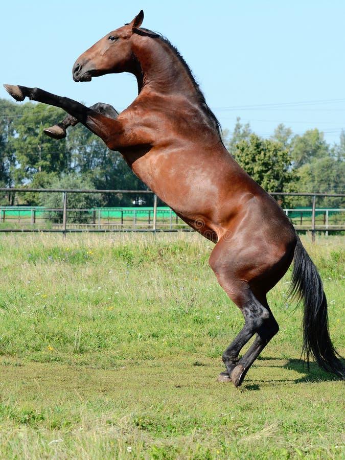 抚养体育的马  免版税库存图片