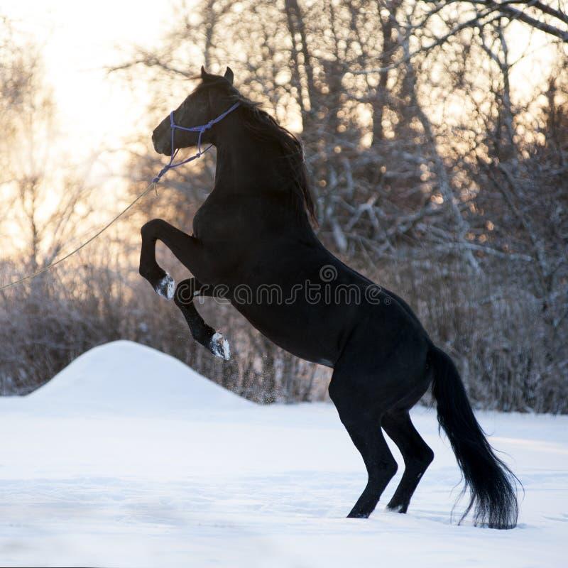抚养在草甸的美丽的黑马在冬天 免版税库存照片