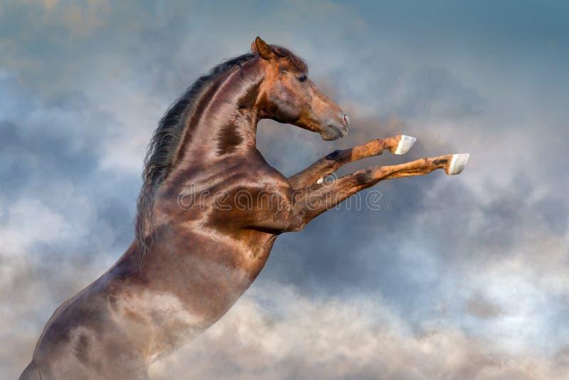 抚养红色的公马  免版税库存照片