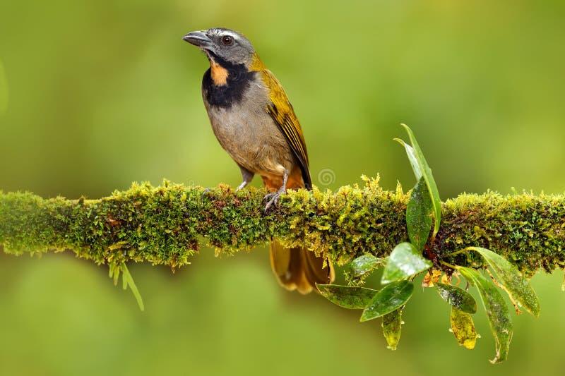 抛光红喉刺莺的Saltator, Saltator maximus,异乎寻常的鸟坐在绿色森林热带唐纳雀的分支在自然habi 免版税图库摄影