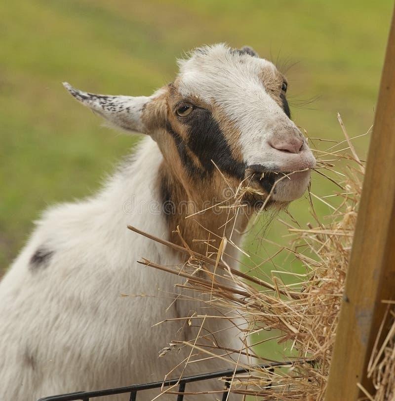 抢救山羊--平安无事 免版税图库摄影