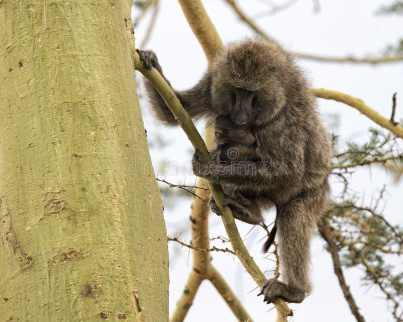 护理她的Acai树的母亲狒狒的Frontview孩子 免版税库存照片