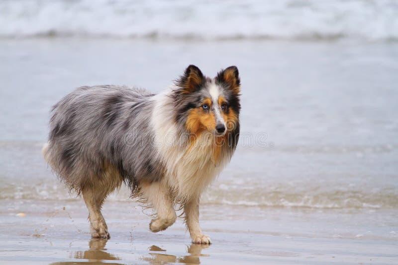 护羊狗舍德兰群岛 免版税图库摄影