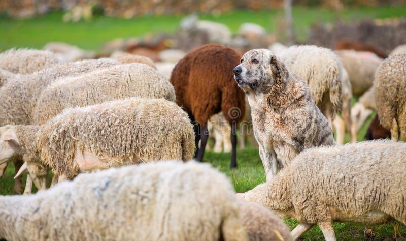 Download 护羊狗 库存照片. 图片 包括有 和平, 没人, 陆运, 横向, 家畜, 地产, 危险, 注意, 问题的 - 30337812