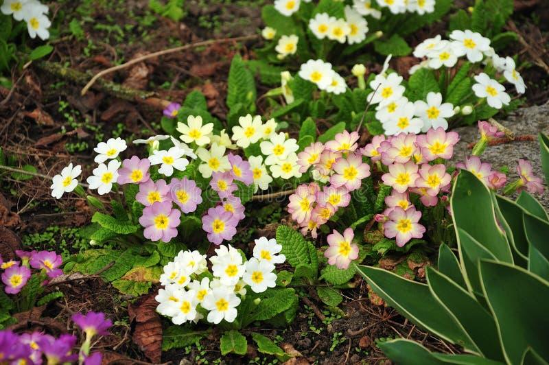 报春花在轻淡优美的色彩下在春天庭院里 库存照片