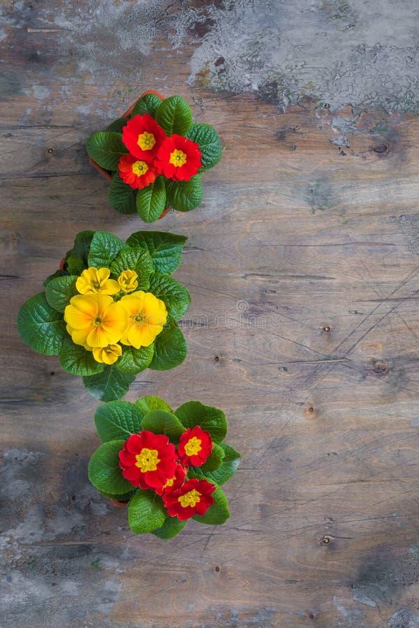 报春花樱草属寻常,红色和黄色庭院花,盆,土气木背景,春天明信片概念 免版税库存图片