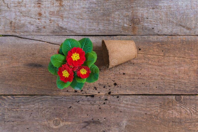报春花樱草属寻常,红色和黄色庭院花,盆,土气木背景,春天明信片概念 库存图片