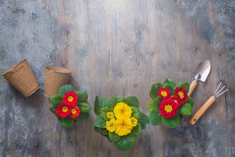 报春花樱草属寻常,黄色和红色庭院花,盆,工具,春天从事园艺的明信片概念 库存图片