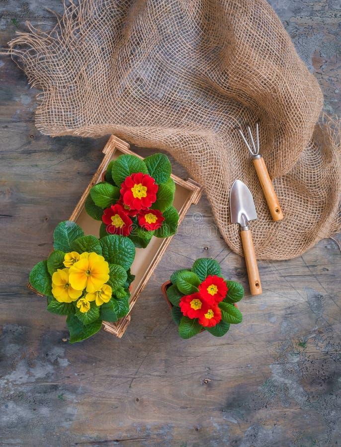报春花樱草属寻常,黄色和红色庭院花,盆,工具,春天从事园艺的明信片概念 免版税库存照片